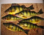 great_lakes_perch